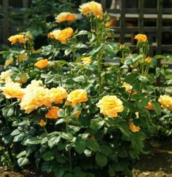 pruned tea rose
