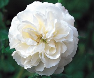 Boule de Neige Rose