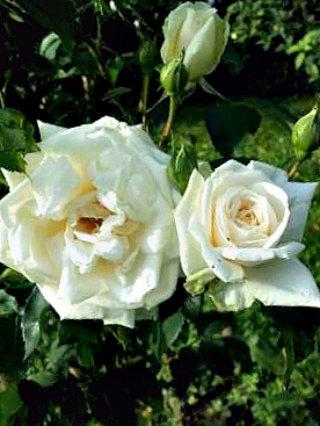 Ilse Krohn climbing rose