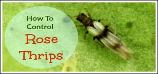 Control Thrips