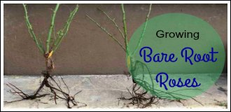 Growing bare root roses