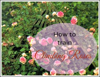 how to train climbing roses