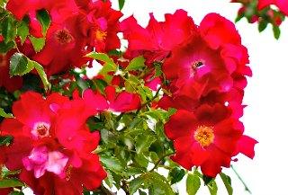 Dortmund climbing rose