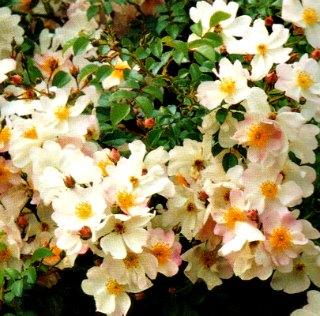 Grouse Carpet rose