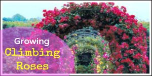 Growing Climbing and Rambling Roses