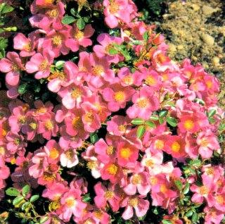 Hertfordshire Rose
