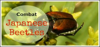 Combat Japanese Beetles