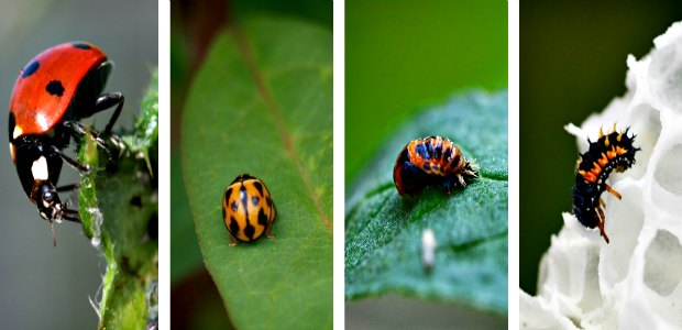 Ladybug and their larvae