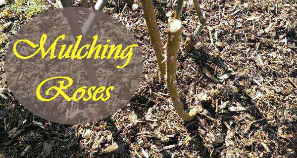 Mulching roses