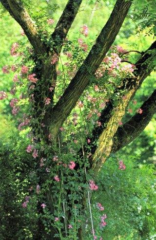 Rambling Rose in a tree