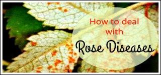 rose diseases