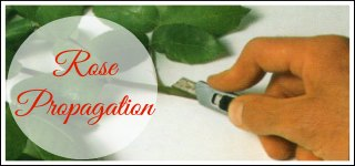Rose Propagation