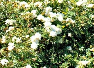 Snow Carpet rose