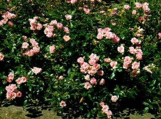 The Fairy Carpet Rose