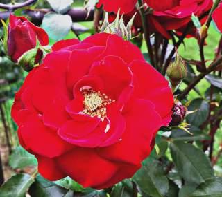 amadeus rose