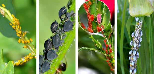 Colored Aphids