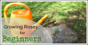 Growing Roses for Beginners