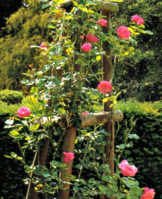climbing rose on a tripod