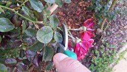 deadheading roses