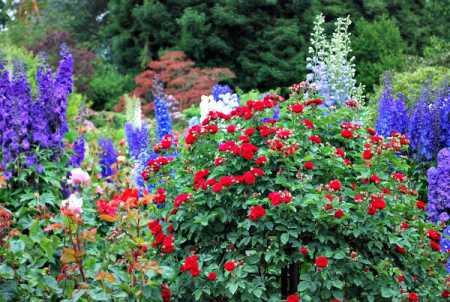 rose in flower garden