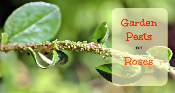 Garden Pests on roses