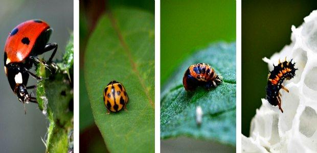 Ladybug and their larvae