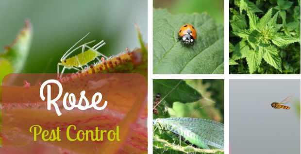 rose pest control