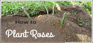 planting roses