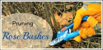 pruning rose bushes