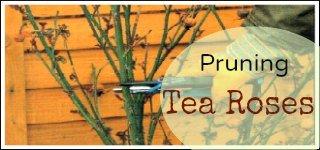 pruning tea roses