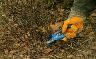 Rose bush pruning