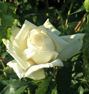 Meaning of different color roses - White rose