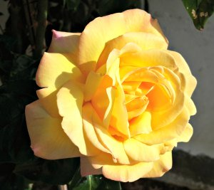 Meaning of different color roses - Yellow Rose